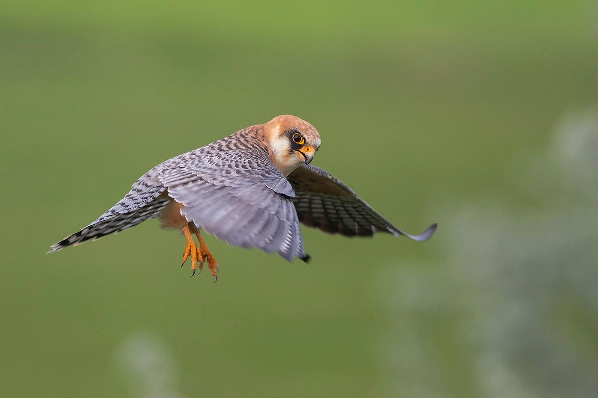 Redfooted falcon